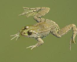 16 Velika zelena zaba (Rana ridibunda)