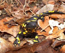 18 Dazdevnjak (Salamandra salamandra)