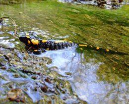 19 Dazdevnjak (Salamandra salamandra)
